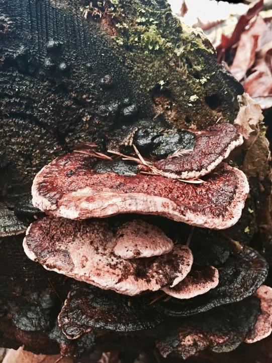 fomitopsis cajander