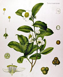 220px-Camellia_sinensis_-_Köhler–s_Medizinal-Pflanzen-025