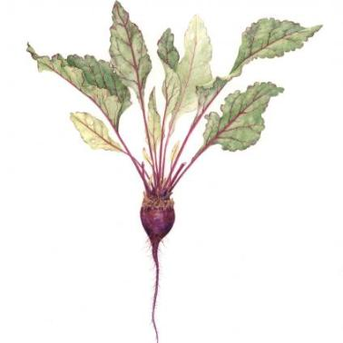 BETA VULGARIS-BEET-WATERCOLOR AND COLORED PENCIL-2011