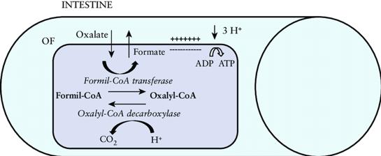 oxalobacter.png